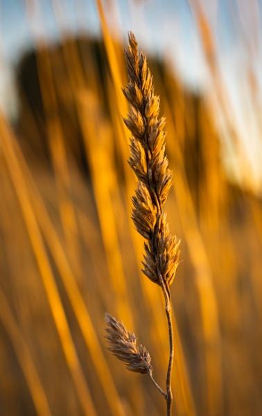 Wild Grass at Sunset, Crookwell, New South Wales by BobinAus