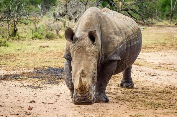 Rhino by philstan