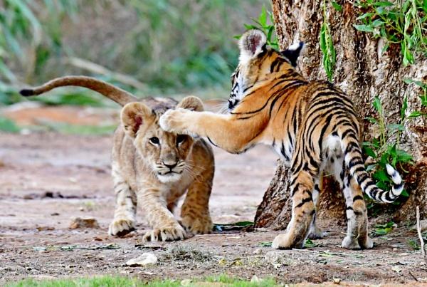 Tiger Vs Lion by Savvas511