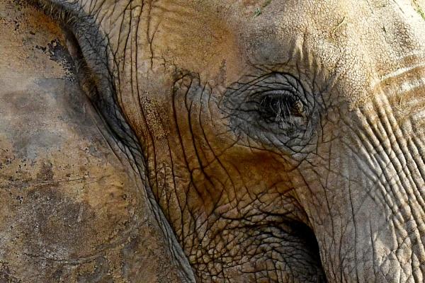 African Elephant by Savvas511