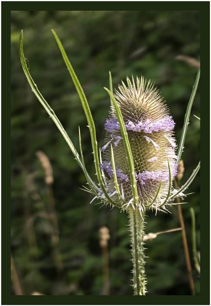 Flowering Teasel by AlfieK