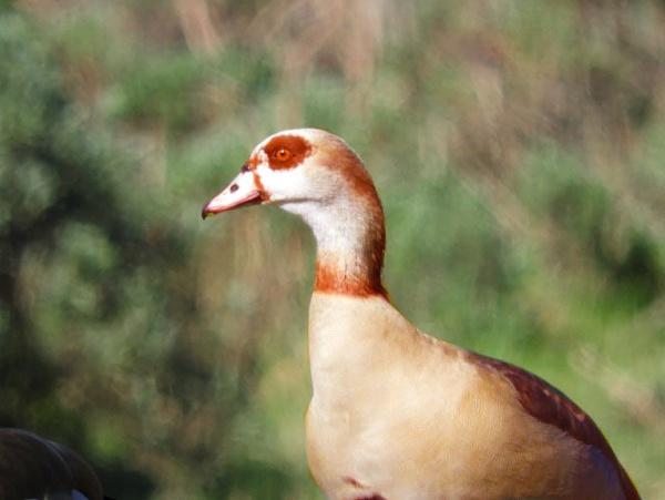 Goose by TeleBug1