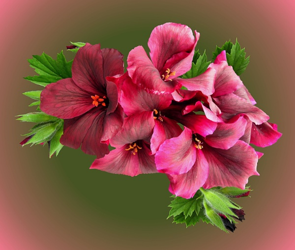 Regal Pelargonium by pamelajean