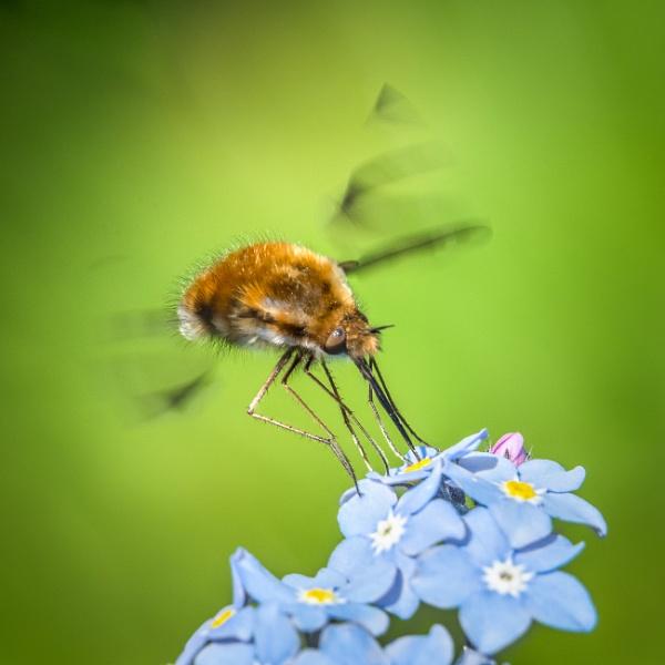 Feeding Bee-fly by barrywebb