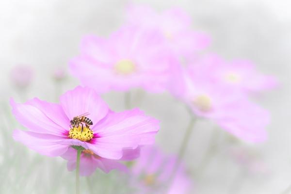Bee feeding on cosmos by barrywebb