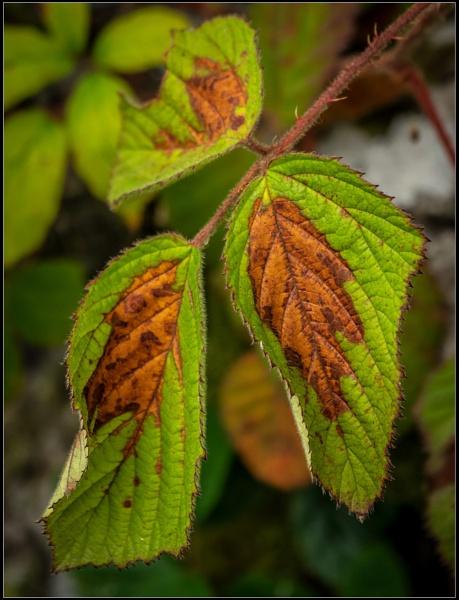 Mid Leaf Crisis