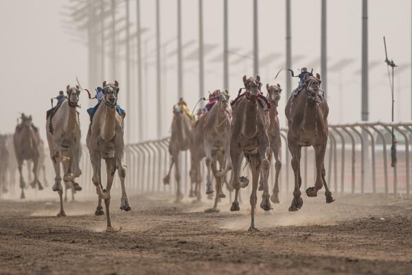 Camel racing by WorldInFocus