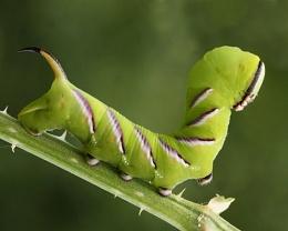 Privet Hawk Moth Caterpillar