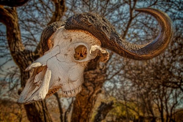 Buffalo Skull by esoxlucius