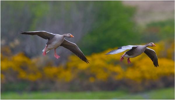 greylag geese by mjparmy