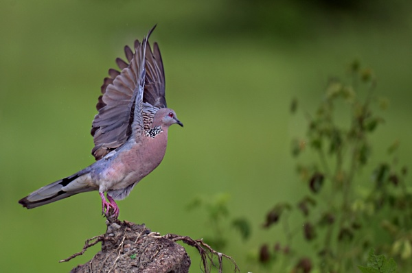Spotted dove by Shibram