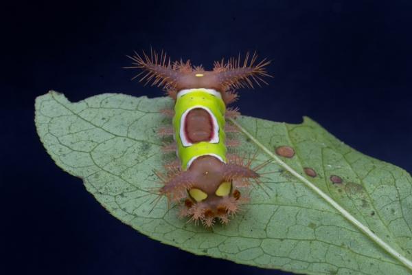 Venomous saddleback caterpillar by jbsaladino