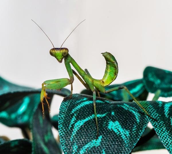 Double Eye Praying Mantis Macro shot. by sidnox