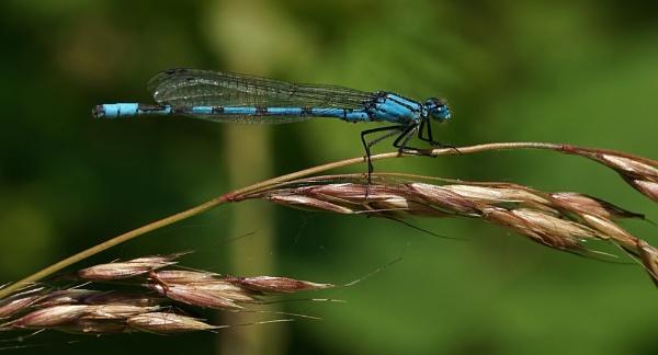 Common blue damselfly by georgiepoolie
