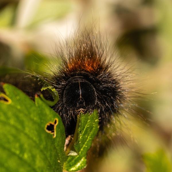 Fox Hawk Moth Caterpillar by daibev