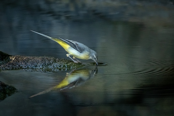 Grey wagtail drinking by gill_f