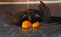 bat about feed on orange