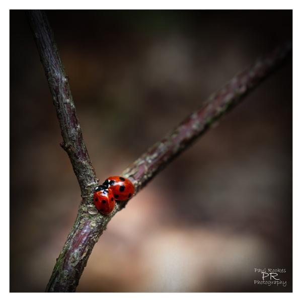 Ladybird\'s by PaulRookes