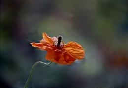 Yesterdays poppy