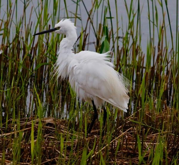Egret by Lencollard
