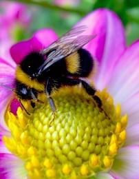Bumbble bee