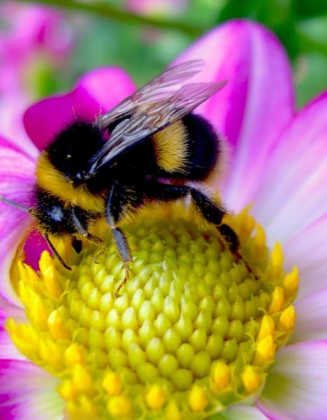Bumbble bee by eddiemat