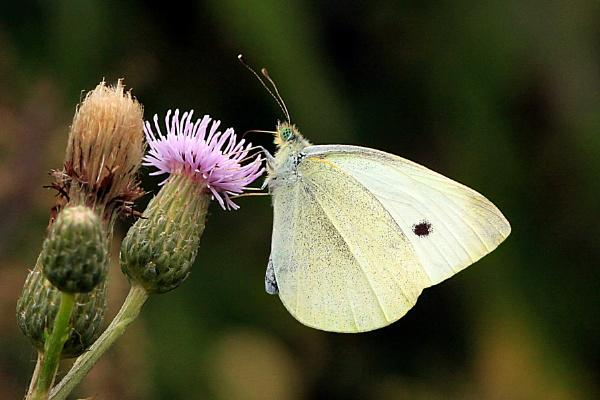Small White--Pieris rapae. by bobpaige1