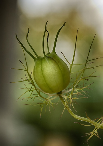 Nigella Seedpod by iangilmour