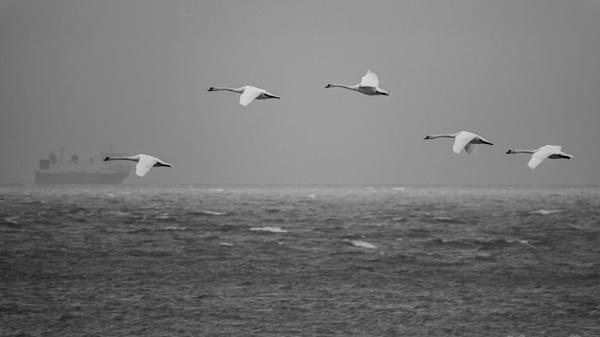 Swans @ sea by Drummerdelight