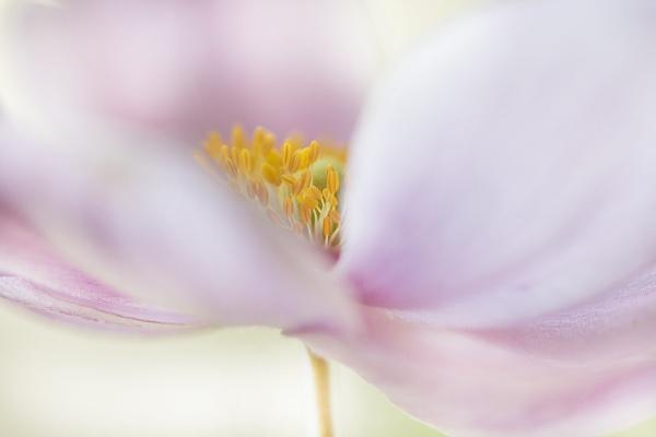 Anemone by janedibnah