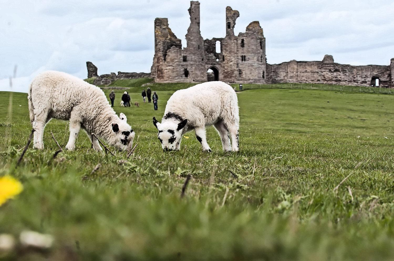 lambs at dunstunburagh castle