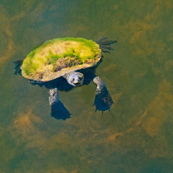 Fresh Water Turtle by Wireworkzzz