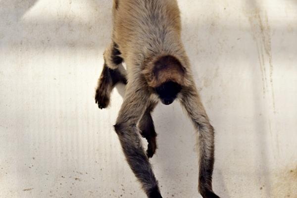 Spider Monkey by Savvas511