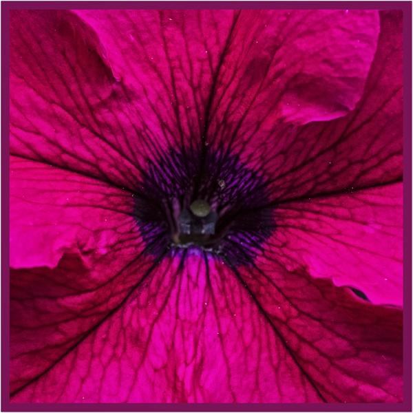 Petunia by AlfieK