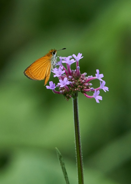Least Skipper Visiting My Garden by JEDPdCWi