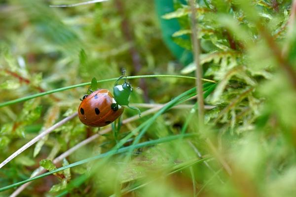 Seven-spot ladybird by LotaLota
