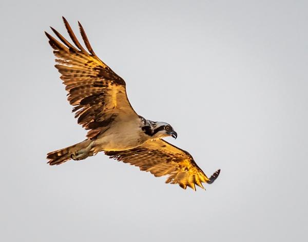 Golden Light on Osprey by HoiPolloi