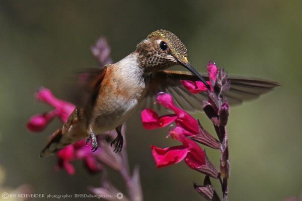 Hummingbird - Santa Fe, New Mexico USA by BHSDallas