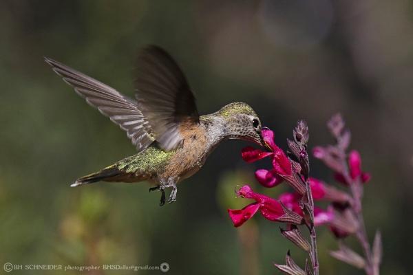 Rufous Hummingbird. Santa Fe, New Mexico by BHSDallas