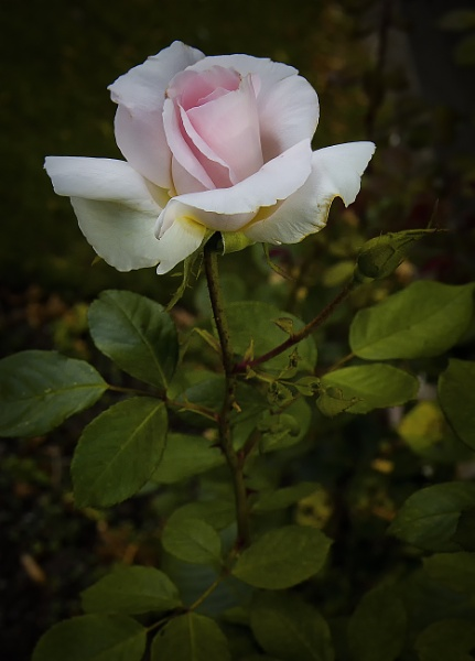 Pink Rose by frenchie44