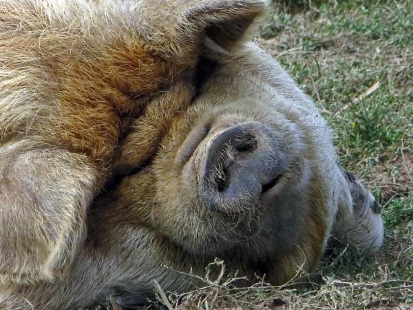 Porky by KarenFB