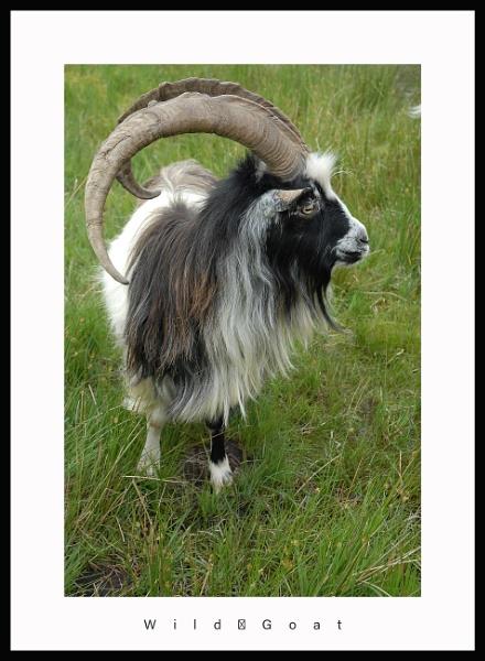 goat by callumcorrie