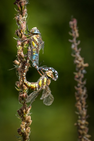 Mating Dragonfies by barrywebb
