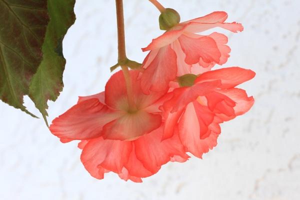 Trailing begonia by Bear46404