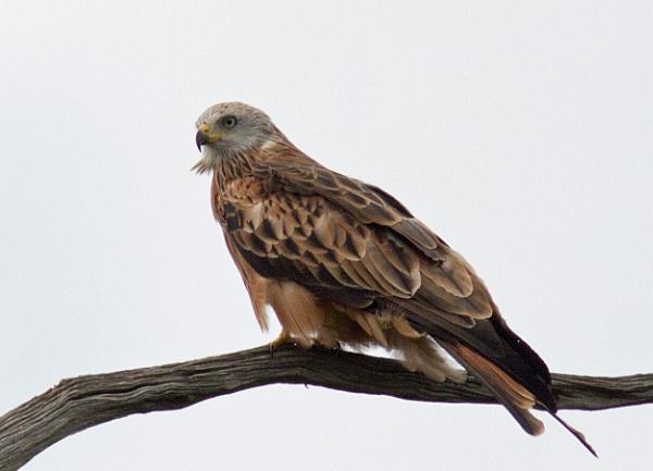 Perching red kite by oldgreyheron