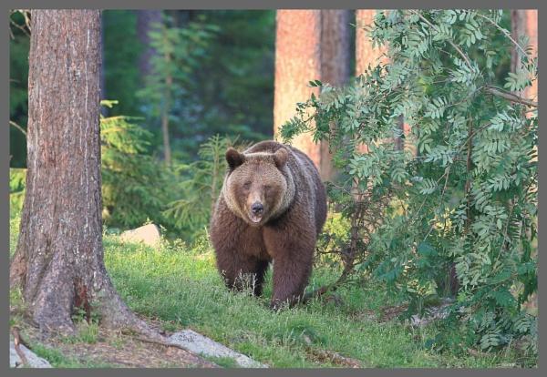 European Brown Bear by HenB