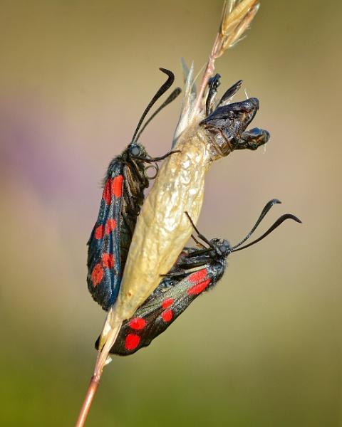 Six-spot burnett moth by chalkhillblue