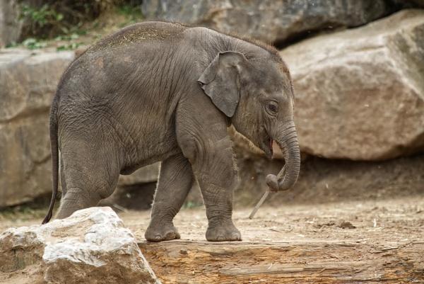 Baby Elephant by ImageProducer