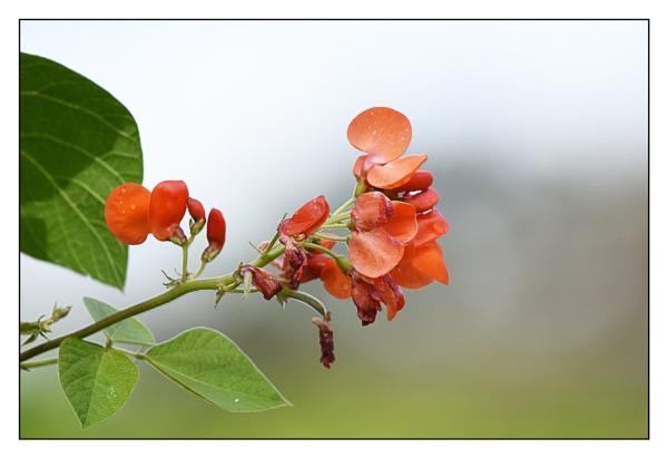 last ofthe  runner bean flowers
