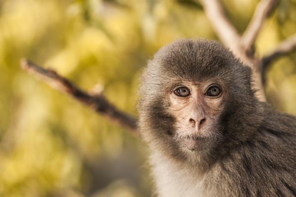 Macaque by clicknimagine
